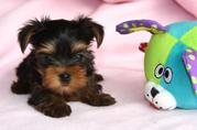 Lovely Tea Cup Yorkie  (taben_p14@yahoo.com)